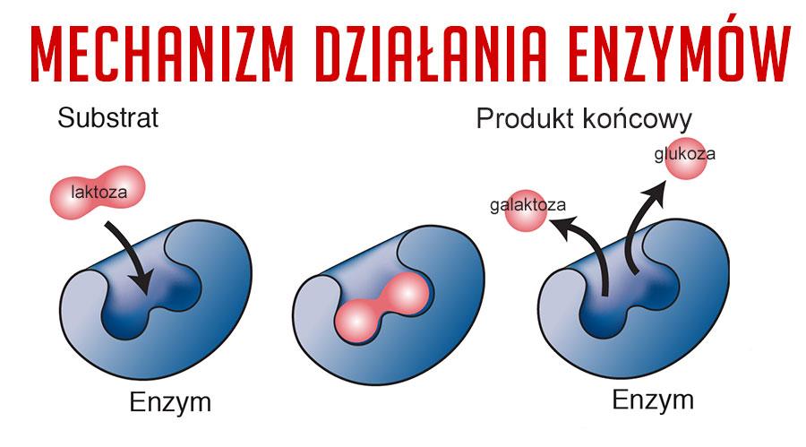 jak działają enzymy trawienne
