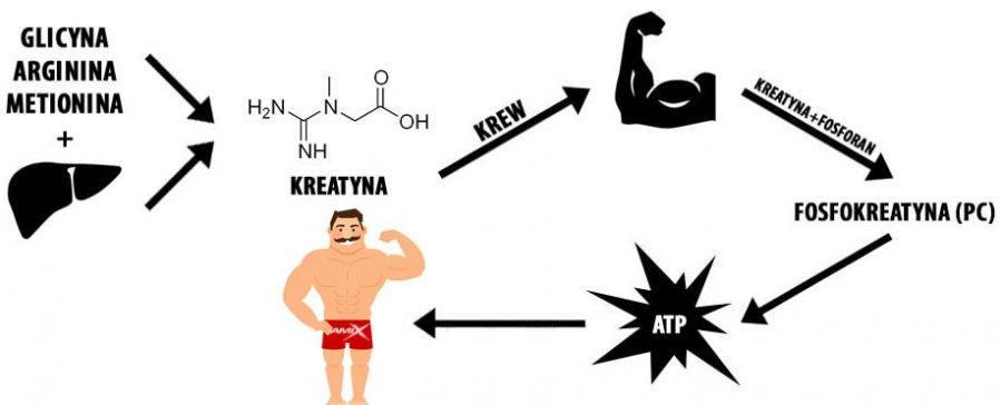 jak działa kreatyna