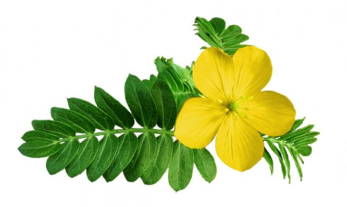 tribulus terestris roślina